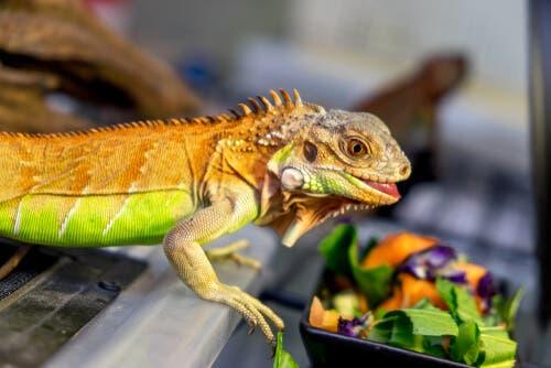 Verdure per l'iguana