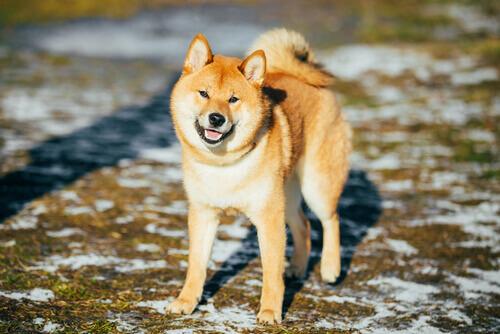 Akita inu, cane giapponese.