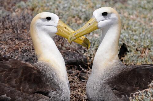 Abitudini e caratteristiche dell'albatro delle Galapagos