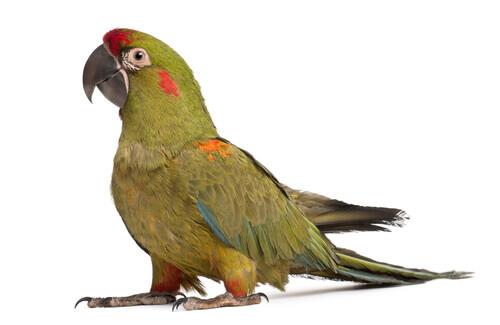 Ara fronterossa, pappagallo a rischio estinzione