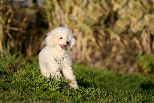 Barboncino, tra le razze di cani più vulnerabili al cancro