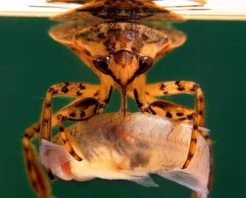 L'insetto d'acqua Belostoma flumineum