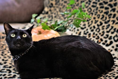 Origine e caratteristiche del bobtail giapponese, il gatto della fortuna