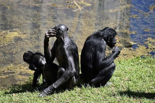 Bonobo, la grande scimmia dalla voce acuta