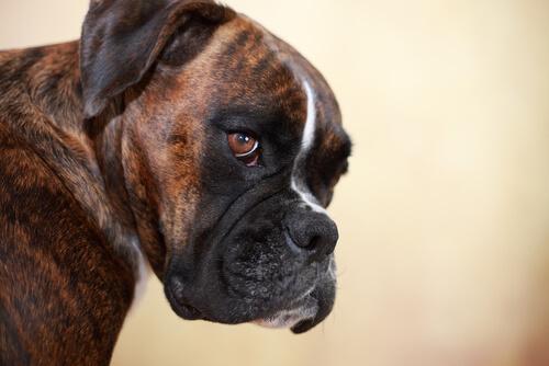 Muso di un cane boxer, una delle razze di cani più vulnerabili al cancro