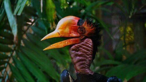 Il bucero dall'elmo, un uccello dal becco più prezioso dell'avorio