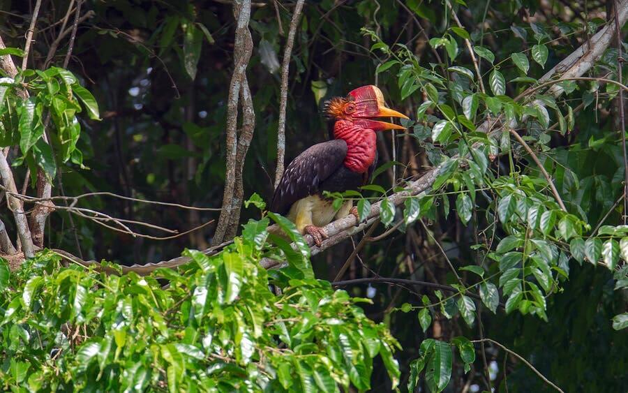 I bucero dall'elmo è un uccello originario dell'Asia