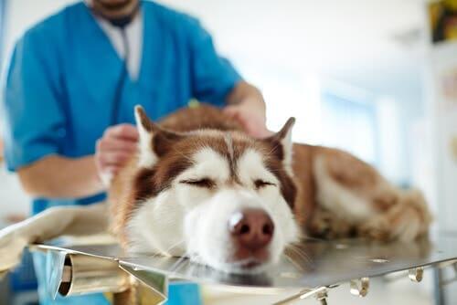 Se identifichiamo i sintomi della leptospirosi, è necessario portare il nostro cane dal veterinario