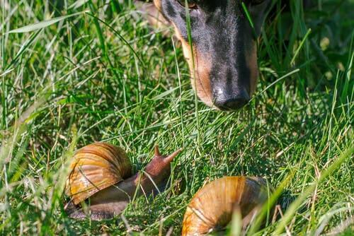 I cani che mangiano lumache rischiano di essere contagiati da alcuni parassiti