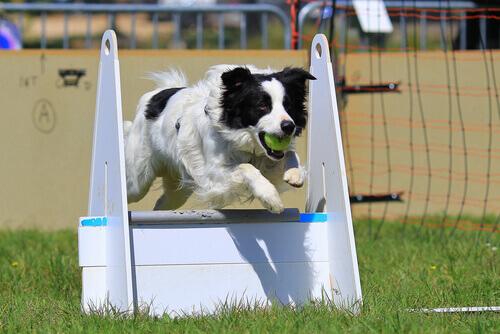 Cane che salta un ostacolo con una pallina in bocca
