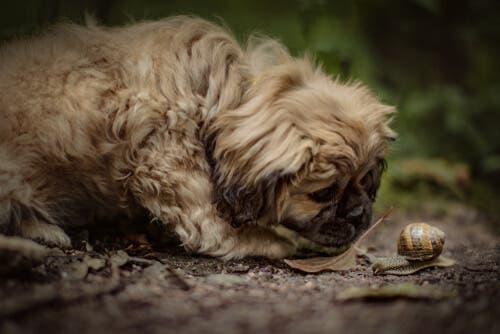 È bene cercare di evitare che il proprio cane mangi lumache