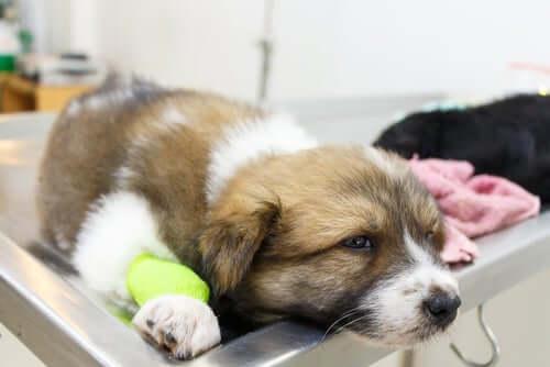 Vasculite nel cane: cosa dobbiamo sapere