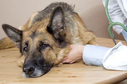 Cane malato su un tavolo