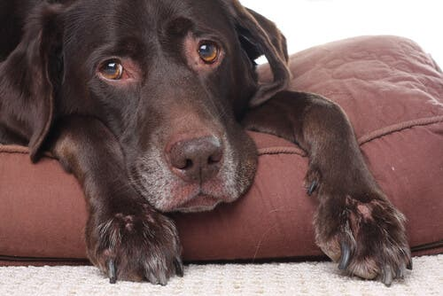 I primi sintomi della leptospirosi nei cani corrispondono a mancanza di appetito, nausea o vomito e febbre alta