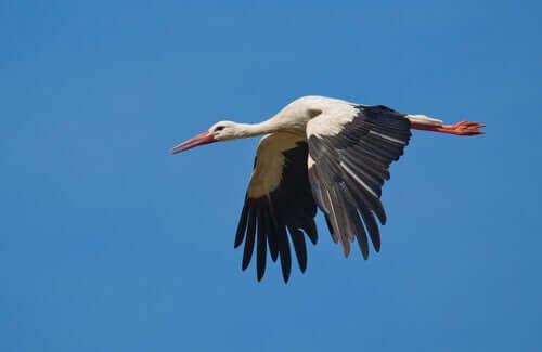 Cicogna bianca in volo.