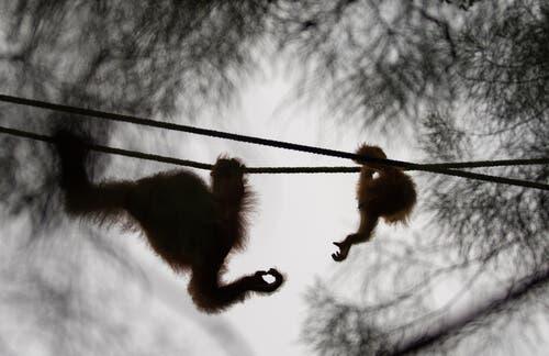 Gli oranghi sono animali molto socievoli