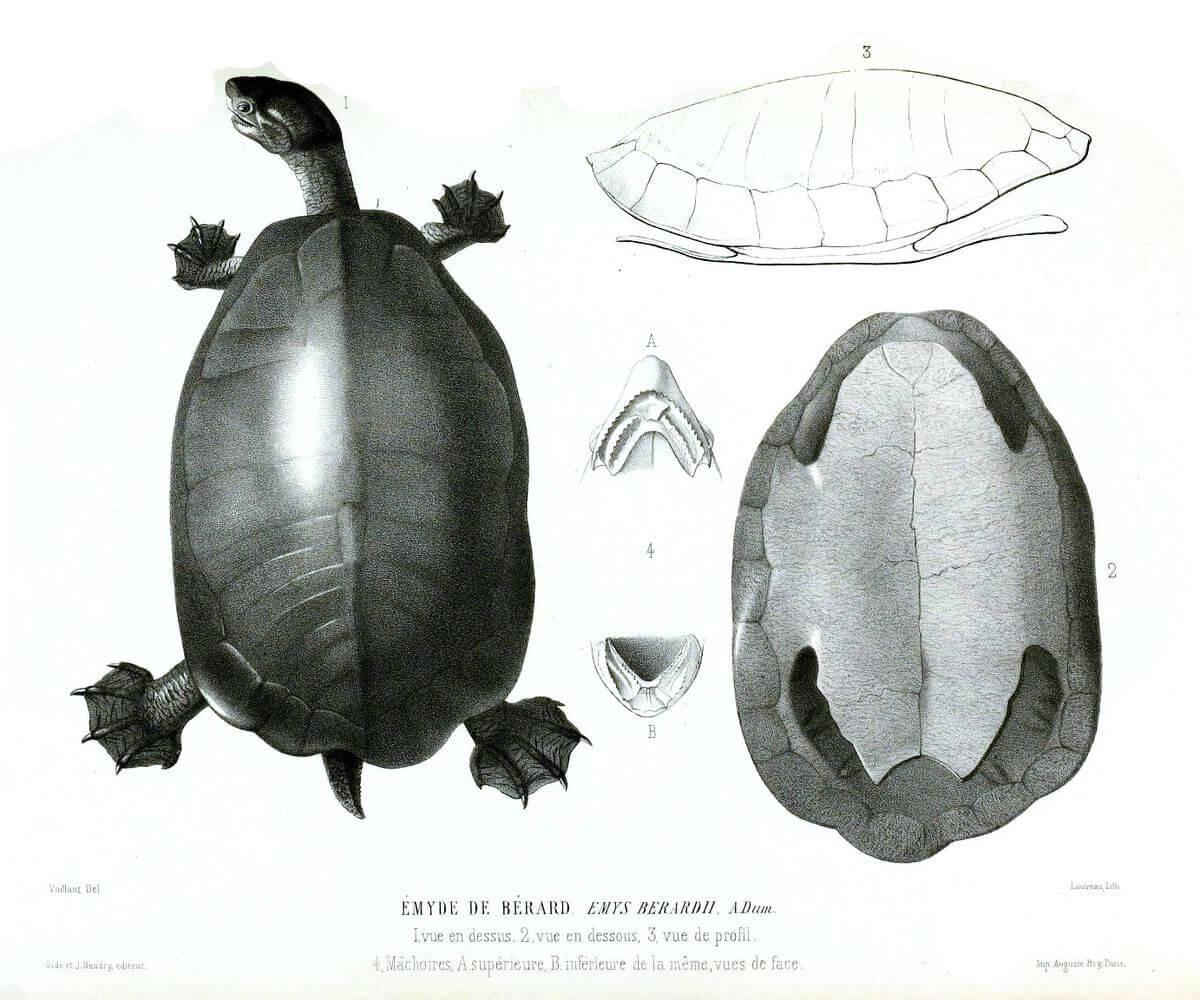 Disegno di tartaruga con guscio