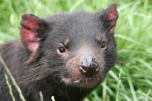 Il diavolo della Tasmania: caratteristiche e curiosità