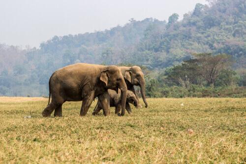 Elefanti africani nella savana