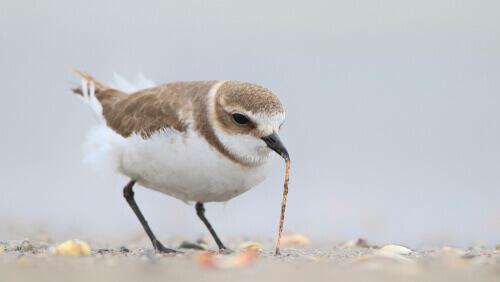 Il fratino eurasiatico, un piccolo uccello che ama le spiagge
