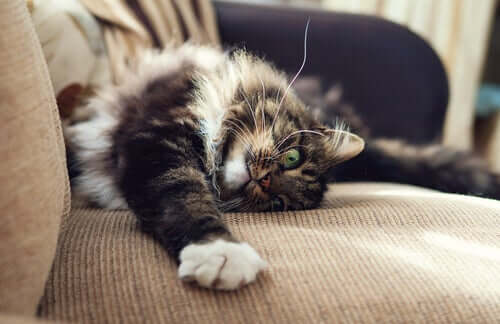 Gatto si fa le unghie sul divano: cattivi comportamenti del gatto.