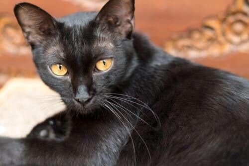 Il virus della leucemia felina può essere fatale