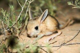 Gerboa dalle lunghe orecchie: un curioso roditore del deserto