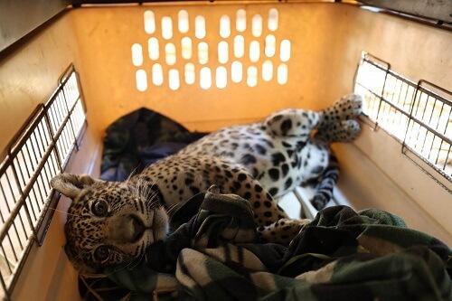 Cucciolo di giaguaro riposa in una gabbia.