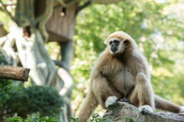 I selfie con i gibboni stanno portando questa specie all'estinzione