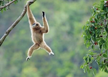 Reintrodurre i gibboni nel loro ambiente naturale è un'operazione delicata e spesso destinata al fallimento.