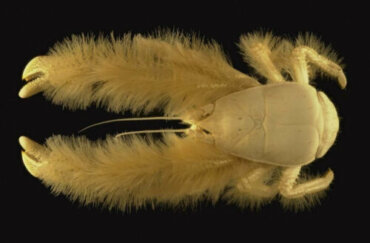 Il granchio yeti: abitudini e curiosità di un animale impressionante