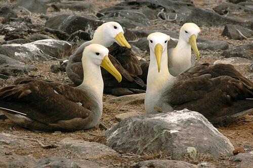 Abitudini riproduzione albatro