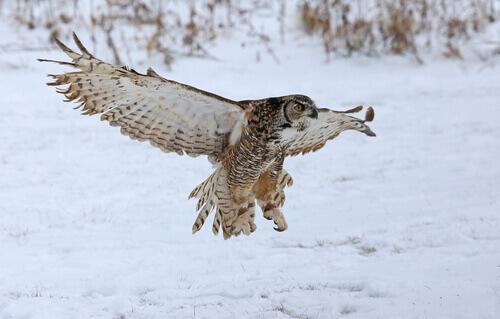 Gufo striato che plana sulla neve