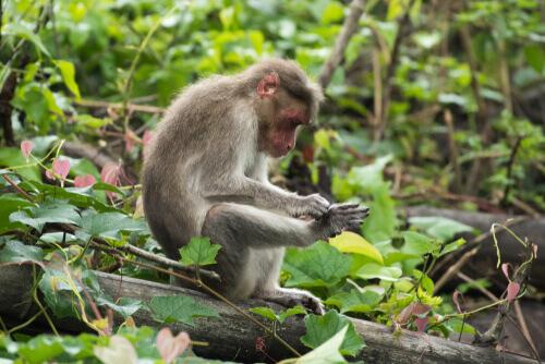 Habitat del macaco dal berretto indiano