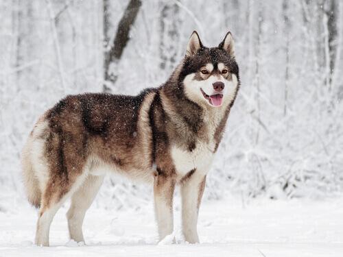 Husky siberiano sotto la neve, tra i cani che sopportano meglio il freddo.