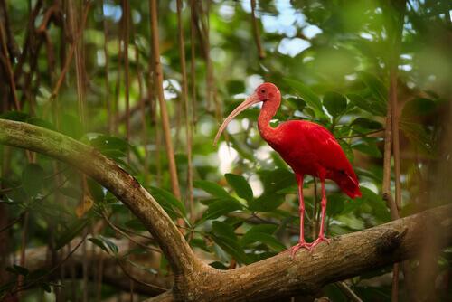 L'ibis rosso, un uccello spettacolare che vive in Sud America