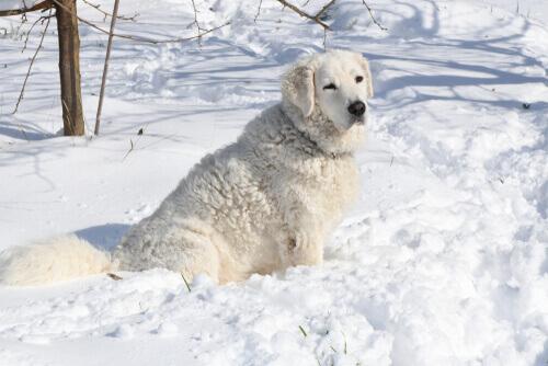 Kuvasz nella neve, tra i cani che sopportano meglio il freddo.
