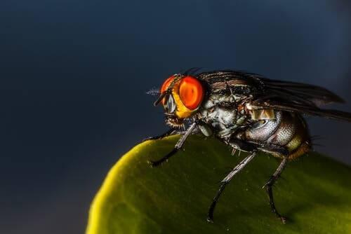 Insetti più brutti: la mosca Dermatobia hominis
