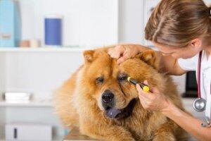 Lesioni oculari nei cani: sintomi e trattamento