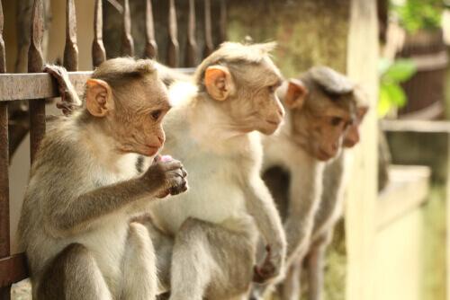 Gruppo con tre esemplari di macaco dal berretto indiano
