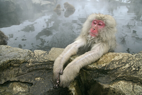 Macaco nelle acque termali