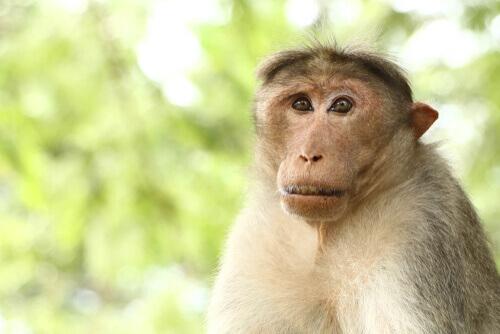 Biologia del macaco dal berretto indiano