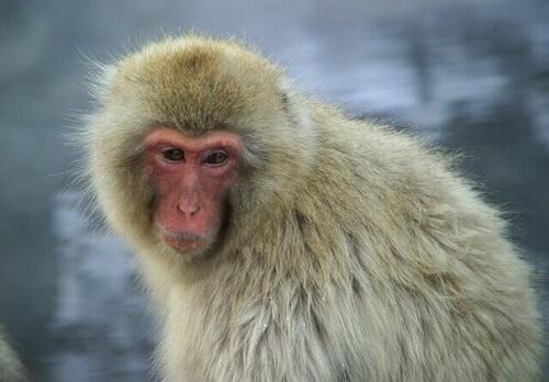 Macaco giapponese: informazioni e caratteristiche