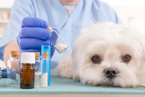 Medicinali per trattare la vasculite nel cane.