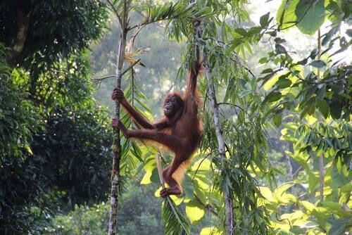 Attualmente è conosciuto un unico esemplare di orango albino: orango su un ramo