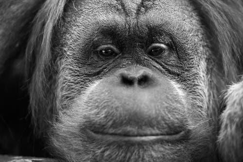 Una femmina di orango albino è stata liberata in natura