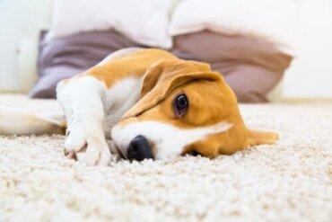 Ostruzione intestinale nei cani: sintomi e trattamento