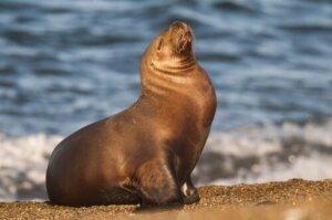 Otaridi: dieta, caratteristiche e habitat