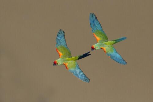 Coppia di pappagalli in volo