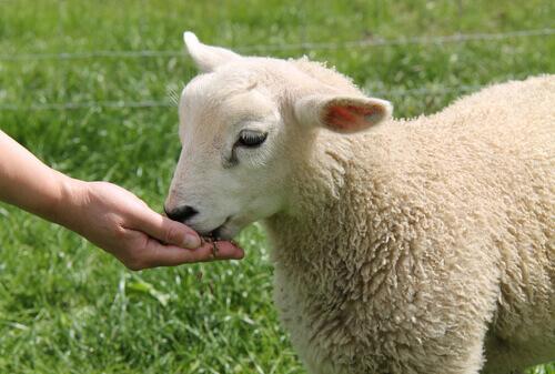 La pecora domestica: dieta e temperamento